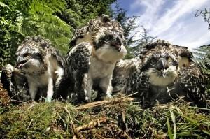 Osprey Chicks on the nest