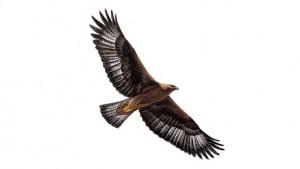 rspbgolden eaglegolea_tcm9-18277