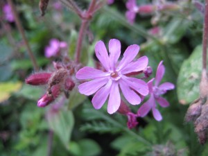 red campion0709 015
